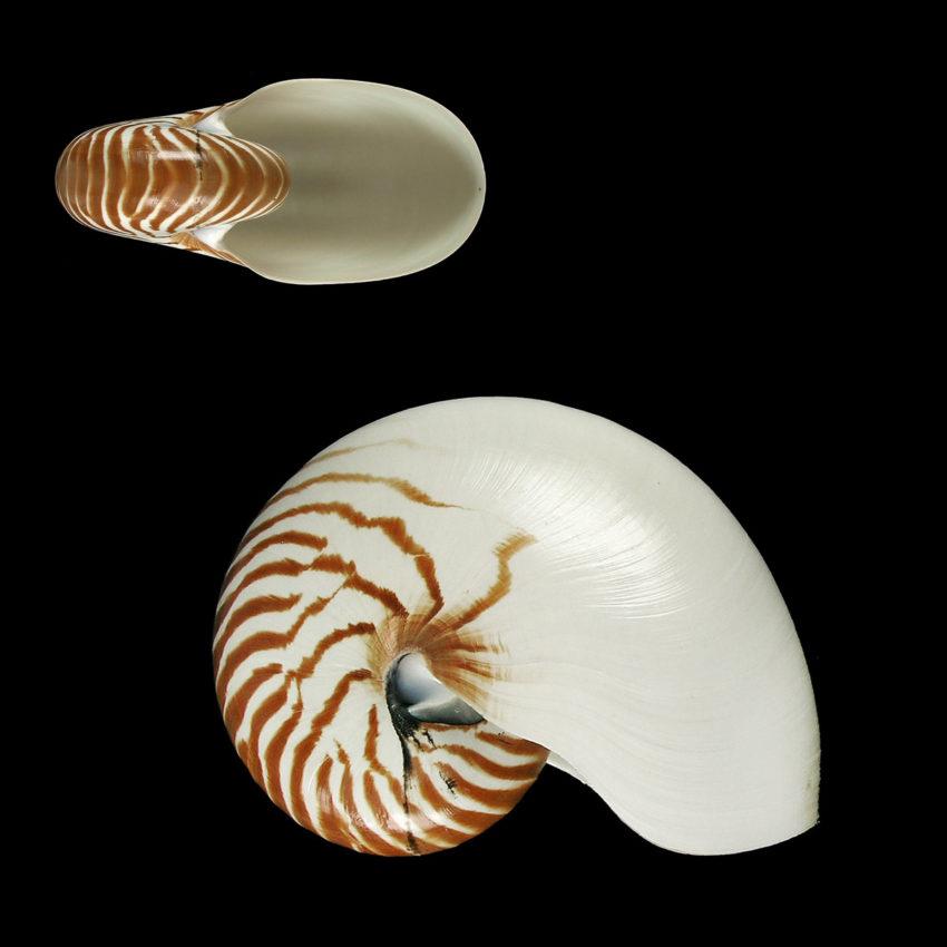 Nautilus, Kopffüßer und der Goldene Schnitt